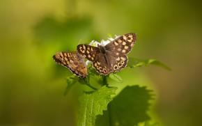 Картинка листья, макро, бабочки, насекомые, зеленый, фон, узор, бабочка, две, растение, пара, парочка, коричневые, дуэт, крылышки, …