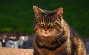 Картинка кот, взгляд, серый, фон, упитанный