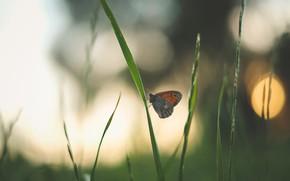 Картинка трава, природа, блики, бабочка, боке