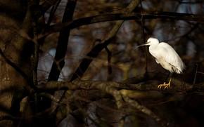 Картинка ветки, темный фон, дерево, птица, белая, цапля