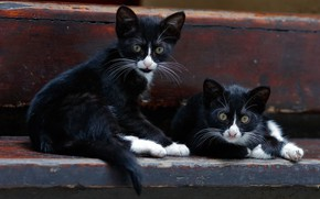 Картинка котята, парочка, двойняшки