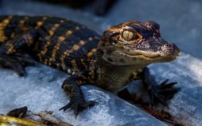 Картинка взгляд, морда, лапы, малыш, крокодил, детеныш, синий фон, аллигатор, рептилия, крокодильчик
