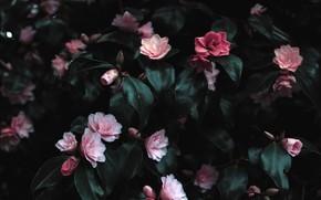 Картинка Цветы, Растение, Лепестки, Растения, Flowers, Pink Flowers, by Lisa Fotios