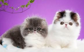 Картинка взгляд, кошки, поза, фон, сиреневый, котята, мех, парочка, два, мордочки, два котенка, фотостудия, персидские, экстремалы