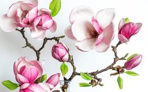 Картинка весна, лепестки, магнолия