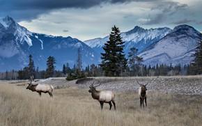 Картинка лес, горы, олени