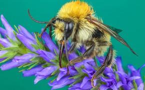Картинка макро, цветы, желтый, зеленый, пчела, фон, шерсть, насекомое, шмель, сиреневые