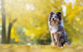 Картинка осень, взгляд, морда, поза, парк, листва, собака, щенок, сидит, боке, колли