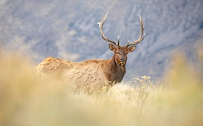 Картинка трава, взгляд, морда, горы, фон, олень, луг, рога, прогулка, боке
