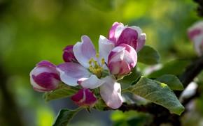 Картинка макро, природа, лепестки, яблоня, цветение, боке, вксна