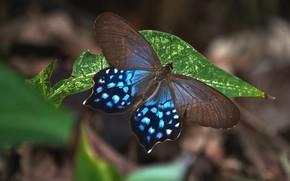 Картинка макро, темный фон, бабочка, листок, коричнево-голубая