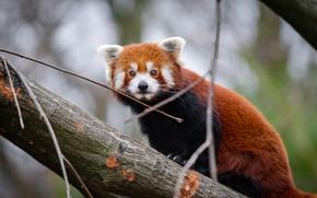 Картинка взгляд, ветки, природа, поза, дерево, портрет, красная панда, мордашка, сидит, боке, малая панда