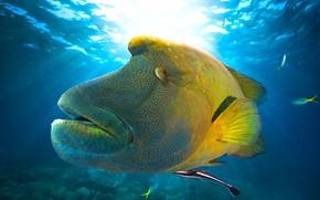 Картинка море, взгляд, морда, свет, узор, рыба, подводный мир, ракурс, под водой, плавание, наполеон, экзотическая, губан