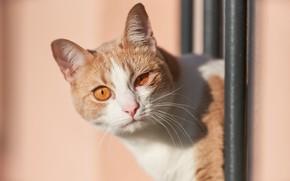 Картинка кошка, кот, взгляд, фон, мордочка