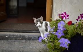Картинка кошка, взгляд, цветы, серый, малыш, стена, котёнок, вход, котенок, дверь, двор, дом, петунии, с белым, …