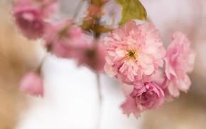 Картинка макро, цветы, ветки, размытие, весна, сакура, розовые, цветение, боке, в цвету, пышные
