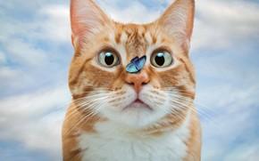 Картинка кошка, кот, взгляд, бабочка, фотошоп, рыжий, фотоарт