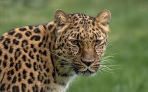 Картинка взгляд, морда, фон, размытость, леопард, дикая кошка