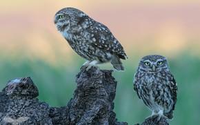 Картинка взгляд, птицы, сова, коряга, совы, парочка, два, зеленый фон, сыч, сычи, наблюдатели, две птицы