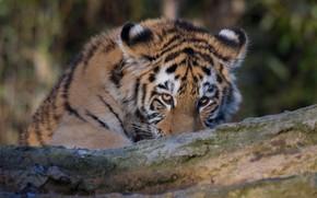 Картинка взгляд, морда, тигр, портрет, бревно, тигренок, выглядывает