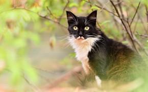 Картинка осень, кошка, глаза, кот, взгляд, листья, ветки, природа, черно-белый, желтые, пушистый, сидит, боке