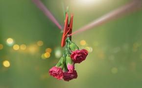 Картинка цветы, прищепка, гвоздики