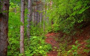 Картинка Деревья, Лес, Тропа, Forest, Trees, Path
