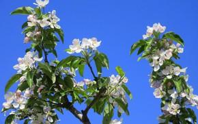 Картинка цветы, яблоня, весна 2018, Mamala ©