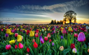 Картинка небо, листья, облака, закат, цветы, дерево, яркие, весна, тюльпаны, бутоны, тюльпановое поле, раноцветные
