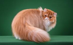 Картинка кошка, кот, взгляд, морда, поза, шерсть, пушистый, рыжий, перс, хвост, зеленый фон, желтые глаза, персидский, ...