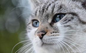 Картинка кошка, серая, боке