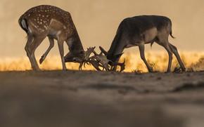Картинка природа, борьба, олени