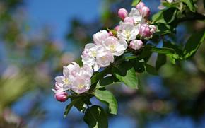 Картинка листья, ветка, весна, яблоня, цветение, цветки, боке, ветка яблони