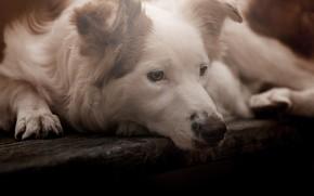 Картинка взгляд, морда, собака