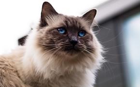 Картинка кошка, кот, взгляд, морда, фон, портрет, голубые глаза, пушистая, сиамская, колор-пойнт, рэгдолл