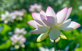 Картинка белый, цветок, макро, свет, цветы, лепестки, лотос, лотосы, боке