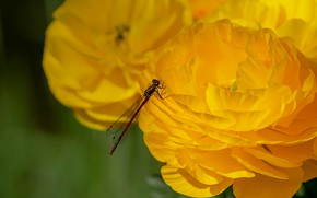 Картинка макро, цветы, стрекоза, желтые, лепестки, насекомое, лютики, ранункулюсы