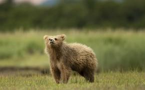 Картинка лето, природа, медведь