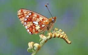 Картинка макро, зеленый, фон, узор, бабочка, растение, оранжевая, профиль, насекомое, листочек, крылышки, папоротник, пятнистая