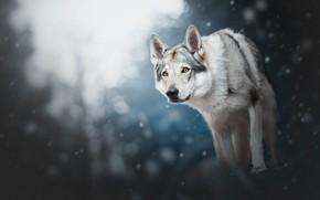 Обои зима, лес, взгляд, морда, свет, снег, природа, поза, темный фон, серый, волк, собака, лапы, большая, ...