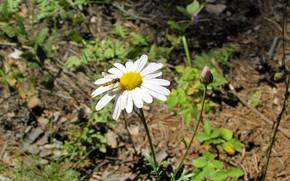 Картинка лес, цветок, пчела, ромашка, опыление