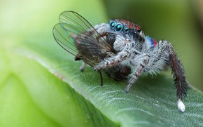 Картинка глаза, макро, природа, муха, фон, жертва, листок, пауки, еда, лапки, паук, насекомое, вкуснятина, зеленый фон, …