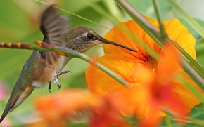 Картинка цветок, трава, природа, колибри, птичка