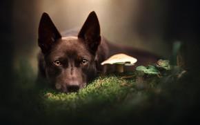 Картинка взгляд, морда, гриб, мох, собака, боке