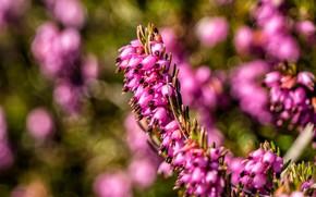 Картинка цветы, поляна, весна, розовые, боке, версек