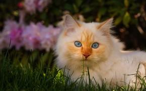 Картинка кошка, белый, трава, кот, взгляд, морда, свет, цветы, природа, поза, темный фон, фон, поляна, портрет, …