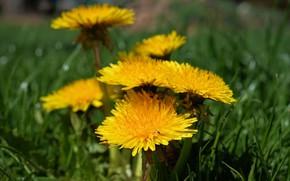 Картинка поле, цветок, жёлтый, одуванчик, весна, луг