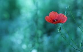 Картинка цветок, красный, стебли, один, мак, маки, бутоны, зеленый фон, боке