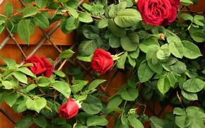 Картинка Куст, Листья, Красные, Розы