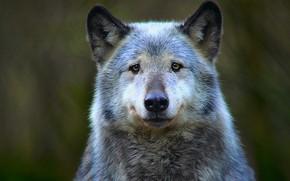 Картинка forest, nature, dog, wolf